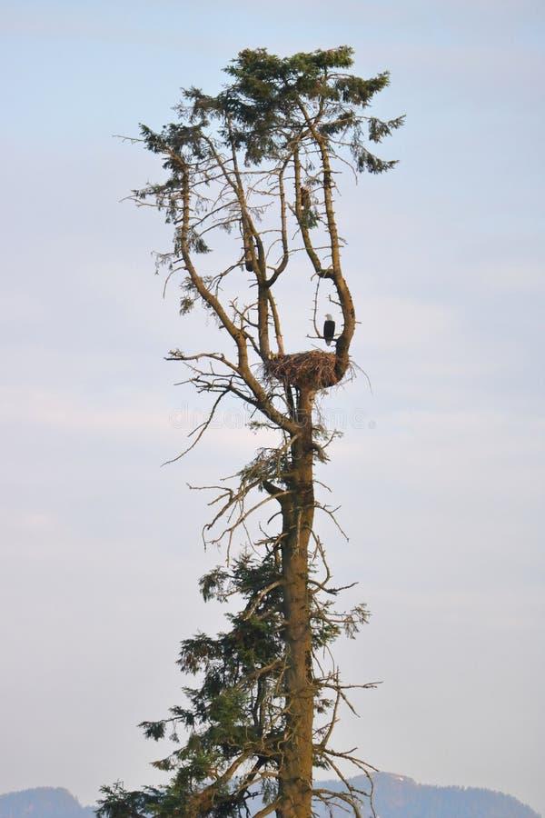 Amerykański Łysy Eagle Umieszczający na gniazdeczku obraz royalty free