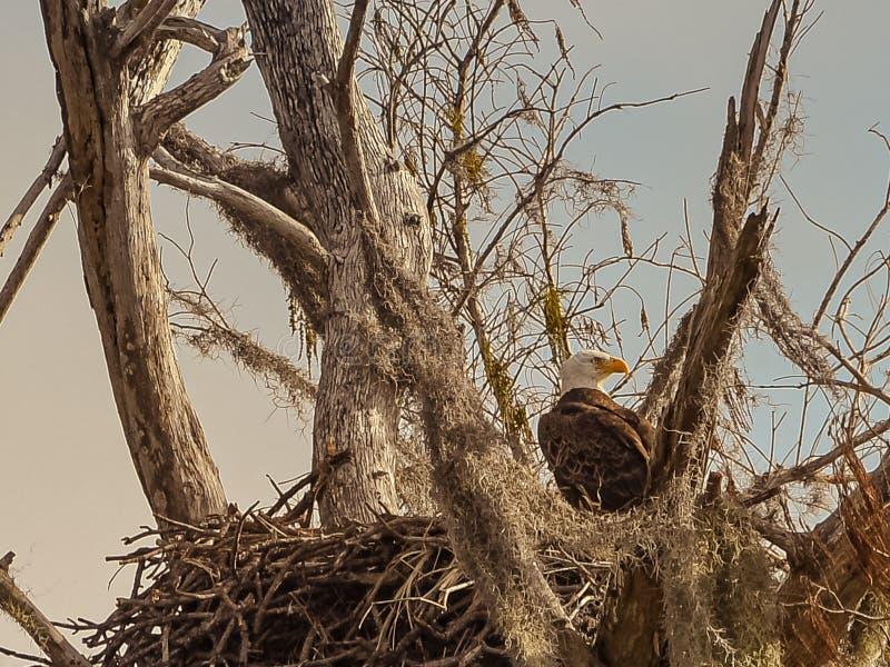 Amerykański Łysy Eagle w jej mech Dekorował gniazdeczko zdjęcia stock
