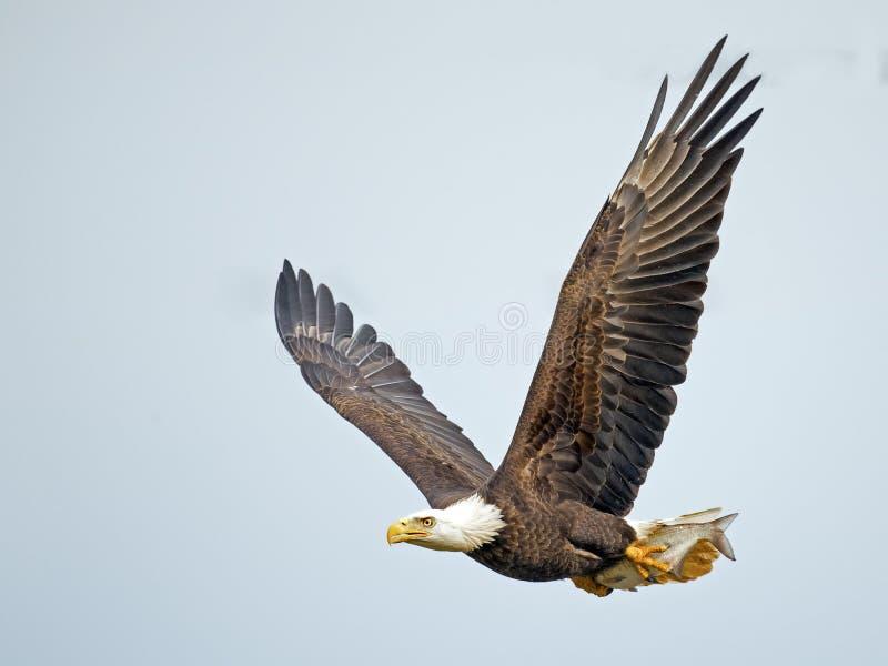 Amerykański Łysy Eagle z ryba zdjęcie royalty free