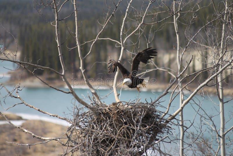 Amerykański łysy orzeł opuszcza gniazdeczko fotografia royalty free