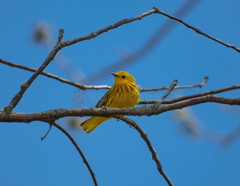 Amerykański Żółty Warbler Patrzeje Z lewej strony zdjęcie stock