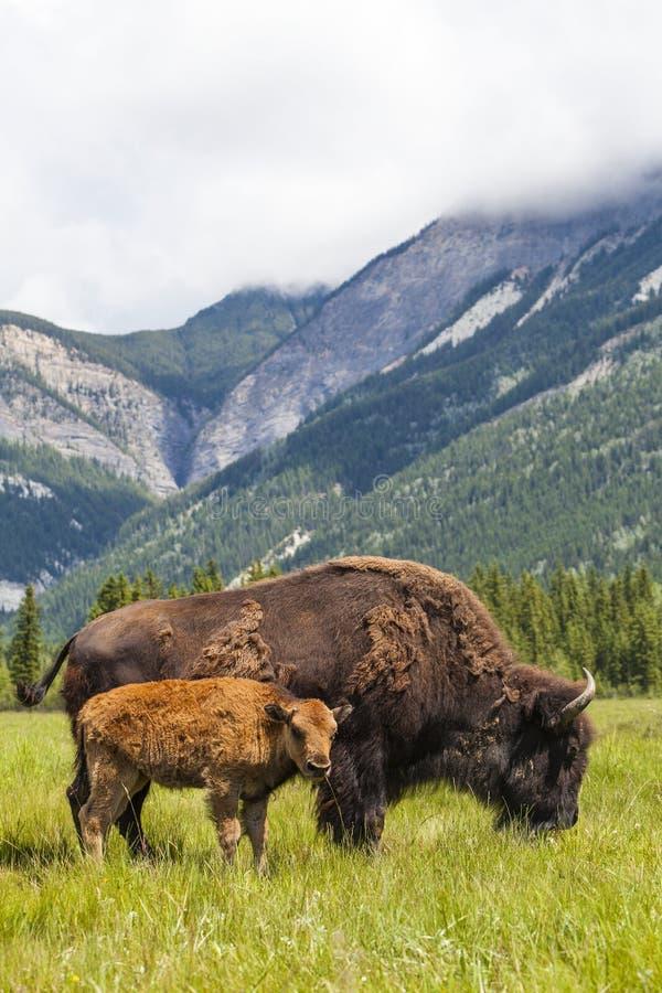 Amerykański żubr, bizon łydka lub matka & obrazy stock
