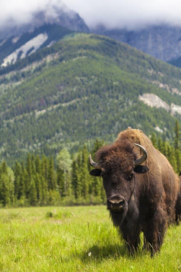 Amerykański żubr lub bizon zdjęcie royalty free