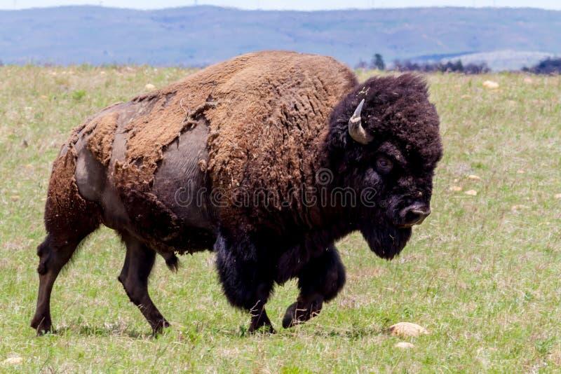 Amerykański żubr, także Znać jako Amerykański bizon, Wędruje Swobodnie w Oklahoma zdjęcia royalty free