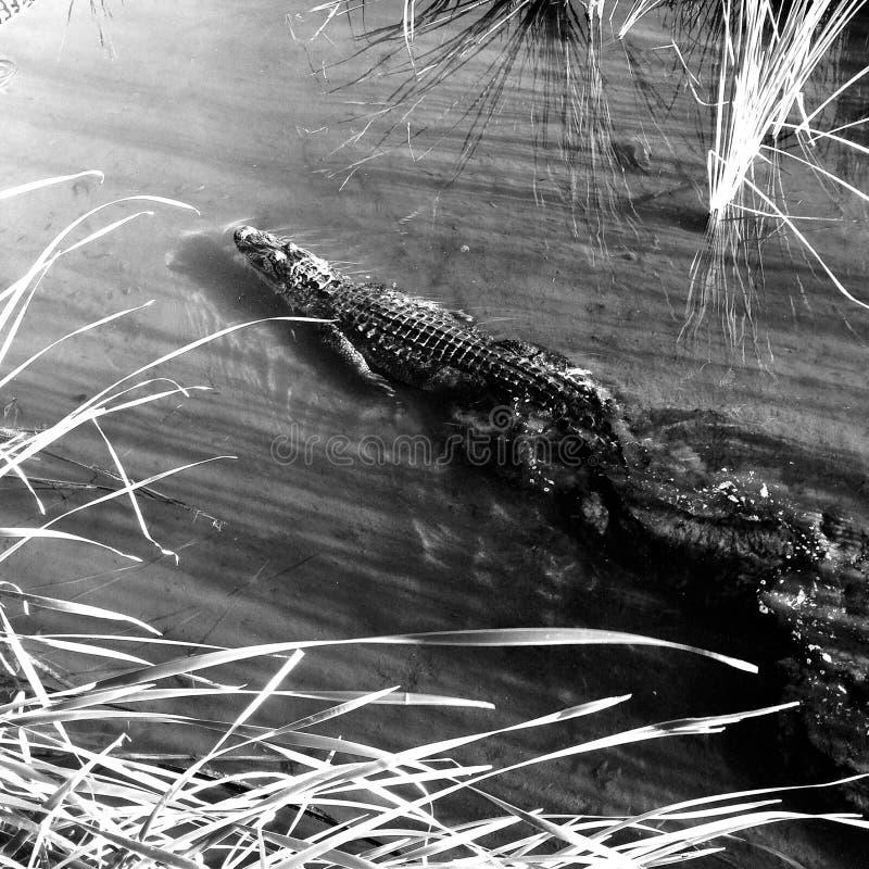 Amerykański Aligator obrazy stock