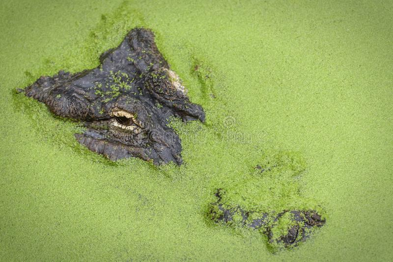 Amerykański aligator, aligatora mississippiensis, gator lub błonie aligator, fotografia royalty free