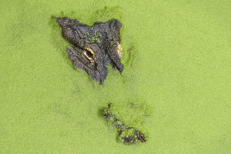 Amerykański aligator, aligatora mississippiensis, gator lub błonie aligator, Oczy Amerykański aligator nad i dysza obrazy royalty free