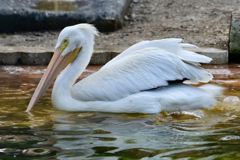Amerykański Biały pelikan obraz stock