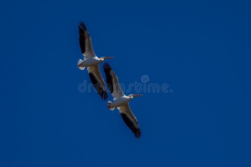 Amerykański Biały pelikan, Pelecanus/Erythrorhynchos, Floryda - obrazy royalty free