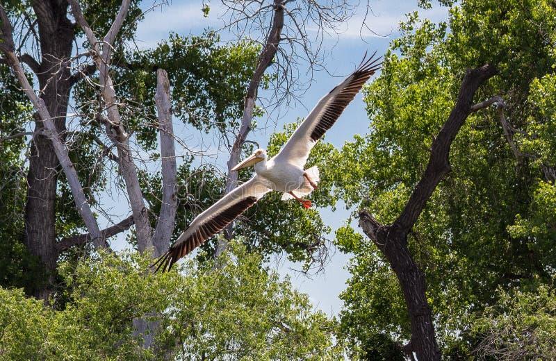 Amerykański Biały pelikan przy Barr stanu Jeziornym parkiem w Kolorado fotografia royalty free