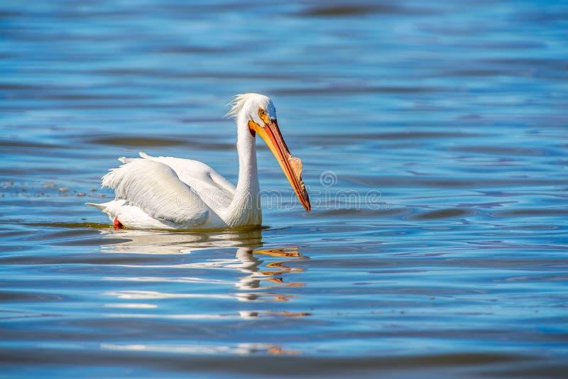 Amerykański Biały pelikan w Lęgowym upierzeniu Salton Morze california zdjęcie royalty free