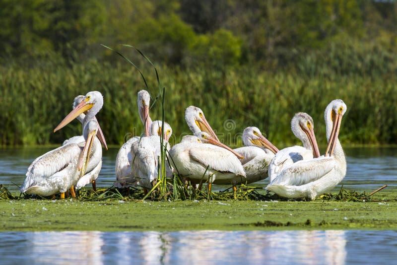 Amerykański biały pelikan w małej wyspie w jeziorze Wisconsin dziki uchodźca zdjęcia stock