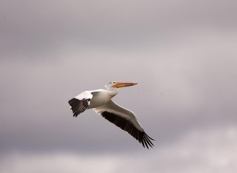 Amerykański Biały pelikan wznosi się przez szarych wiosen nieb zdjęcia stock
