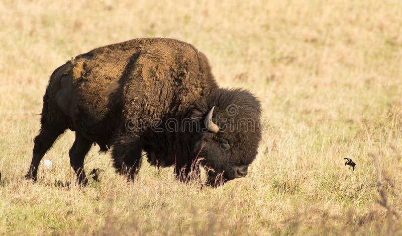 Amerykański bizon obrazy royalty free