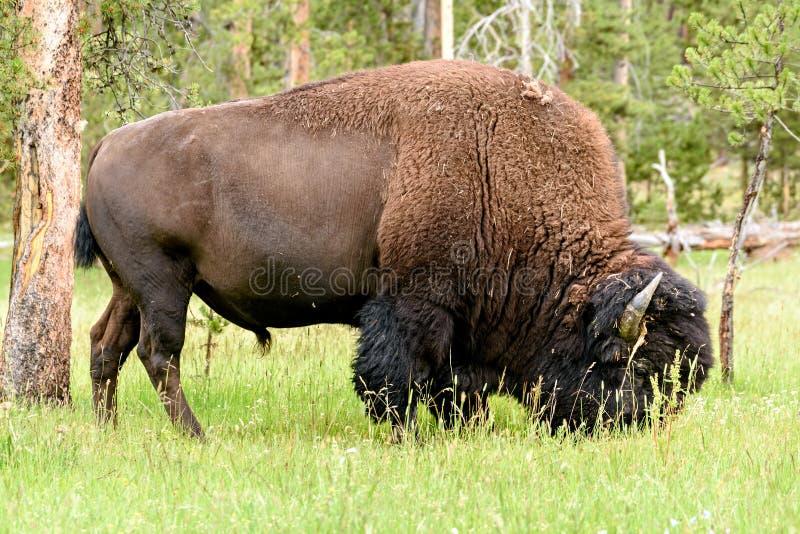 Amerykański bizon & x28; Żubra bison& x29; zdjęcia royalty free