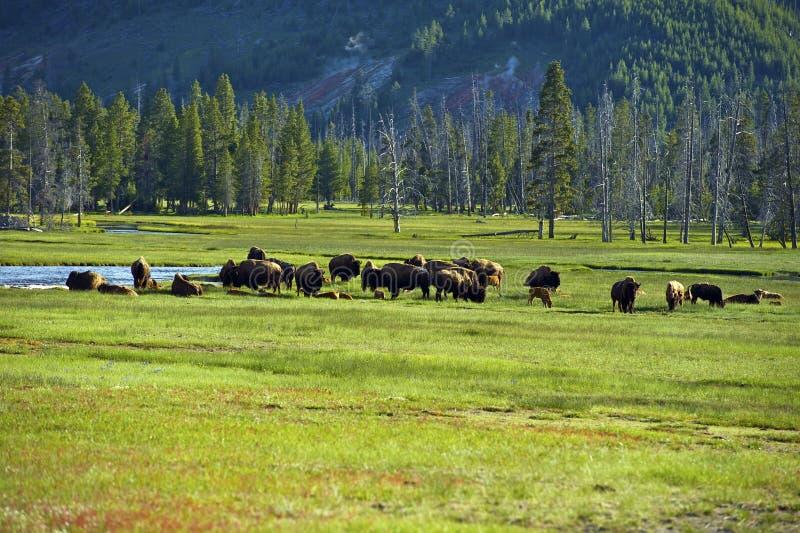 Amerykański bizon w Yellowstone obrazy stock
