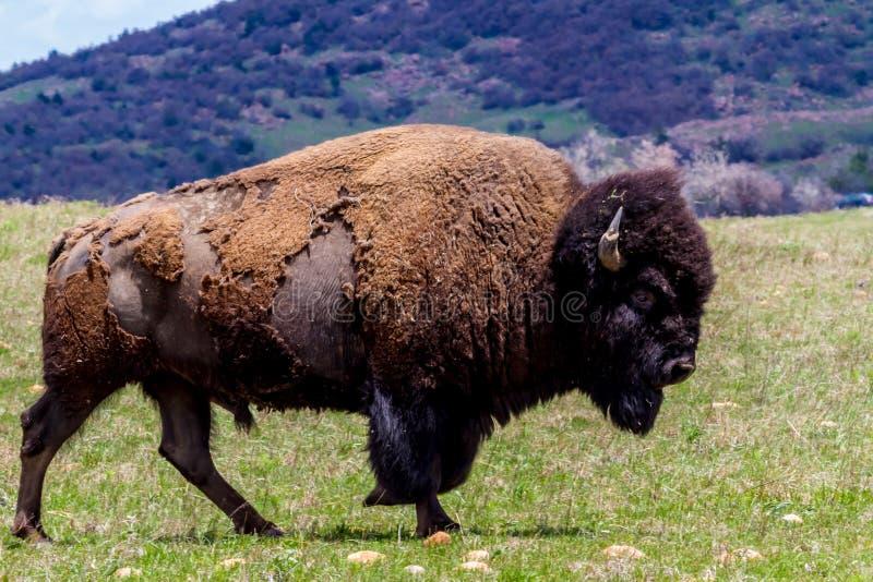 Amerykański bizon, Żyje na pasmie w Oklahoma zdjęcia royalty free