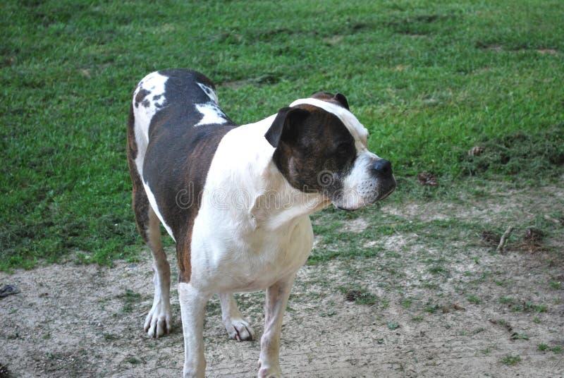 Amerykański buldog Brown Brindled i Biały zdjęcie stock