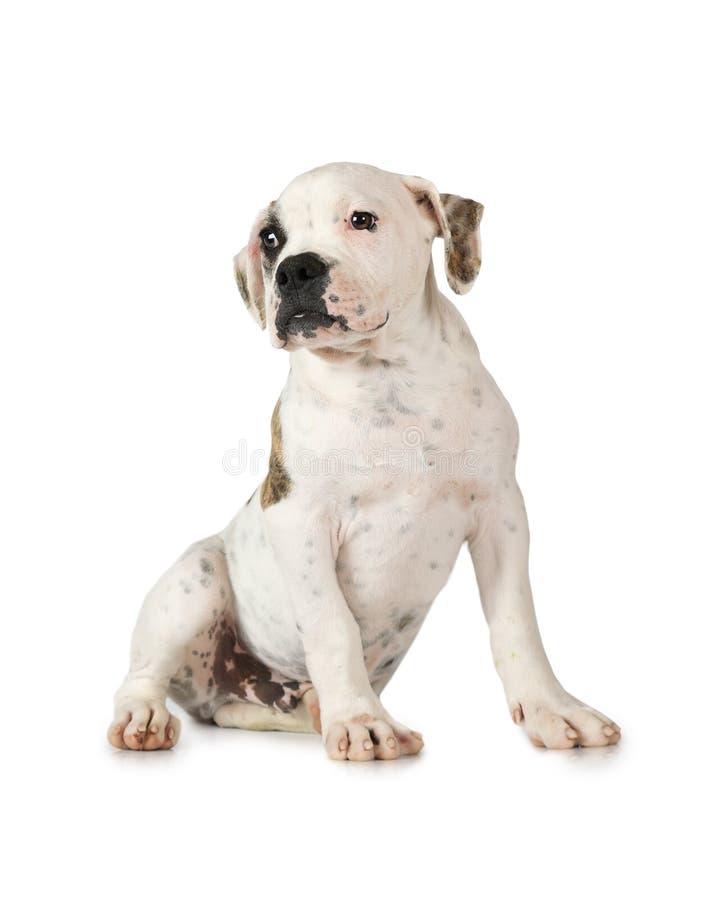 Amerykański buldoga szczeniak odizolowywający na bielu obrazy royalty free