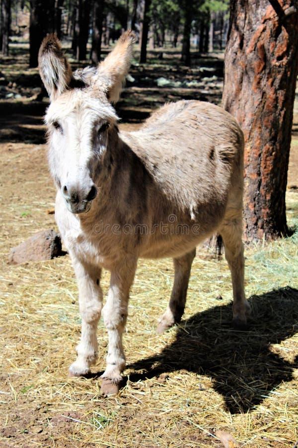 amerykański burro obraz stock