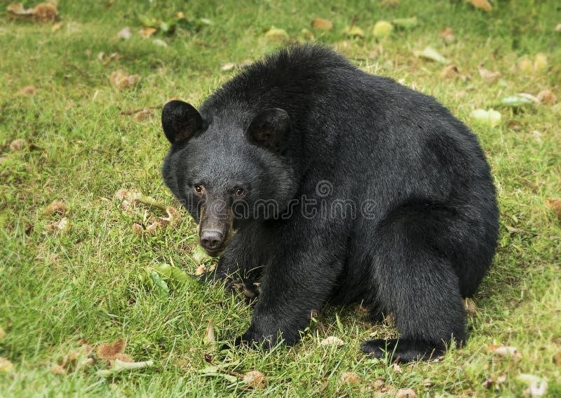 Amerykański Czarnego niedźwiedzia siedzieć fotografia stock