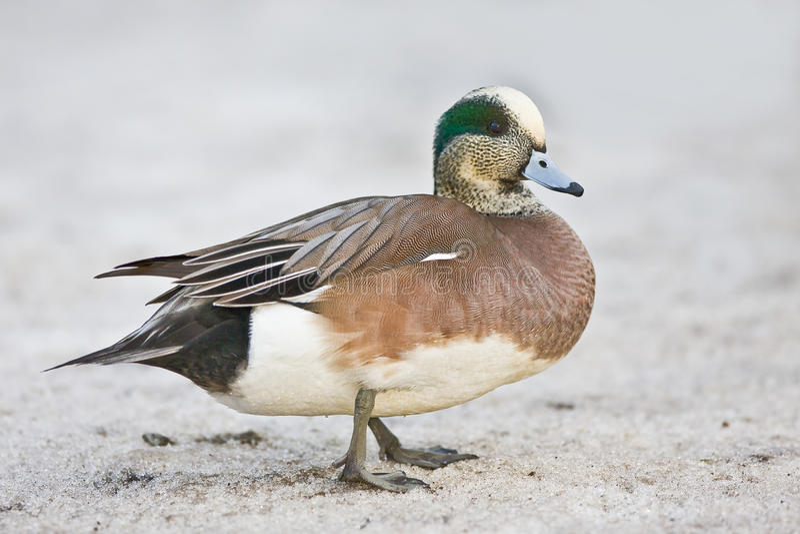 amerykański kaczki samiec wigeon obraz stock