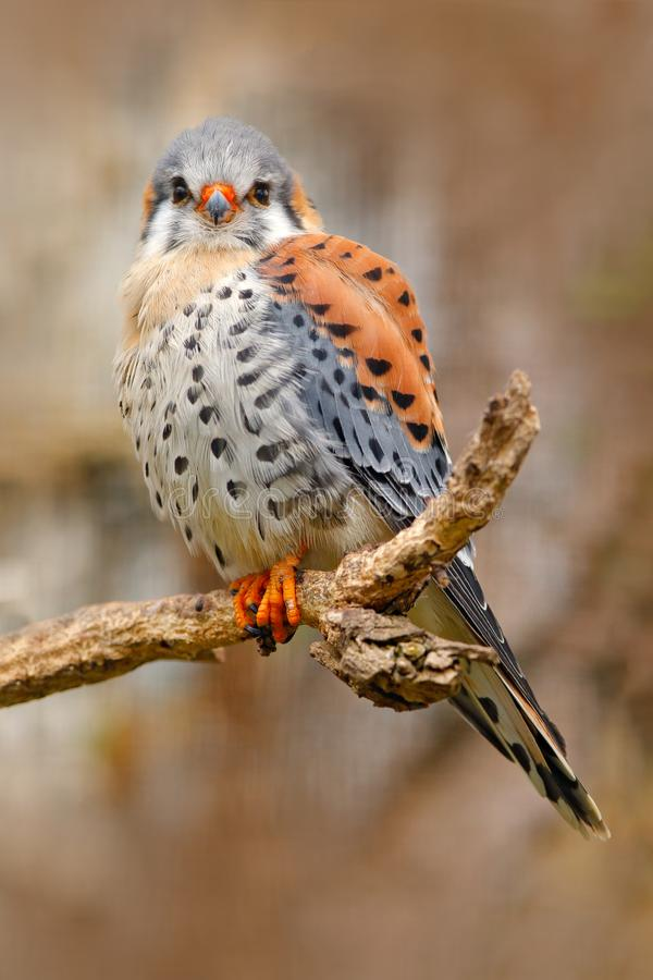 Amerykański kestrel Falco sparverius, siedzi na drzewnym fiszorku, mały ptak zdobycza obsiadanie na drzewnym bagażniku, Meksyk Pt zdjęcia royalty free