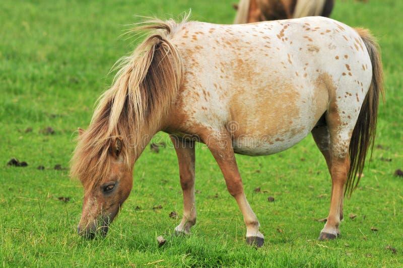 amerykański koń mini w ciąży obrazy stock
