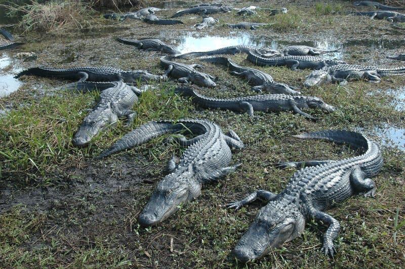 Amerykański krokodyl obraz royalty free