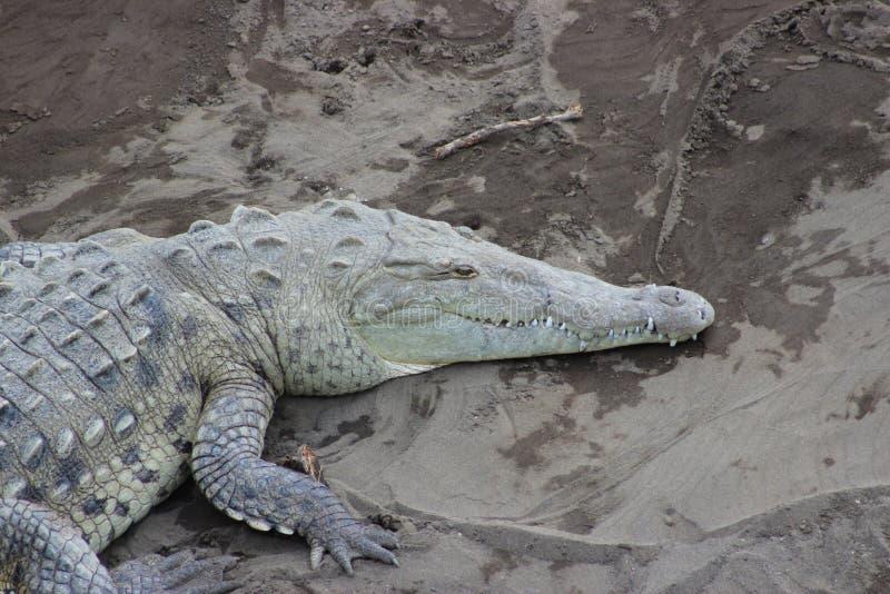 Amerykański krokodyl, Costa Rica obraz royalty free