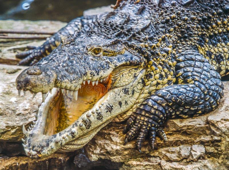 Amerykański krokodyl, Crocodylus acutus obrazy royalty free