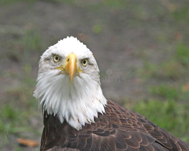 amerykański orzeł łysy fotografia royalty free