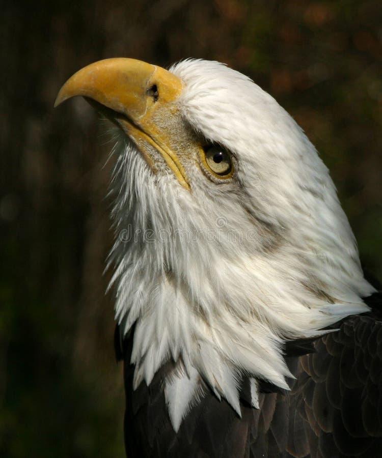 amerykański orzeł łysy zdjęcia stock