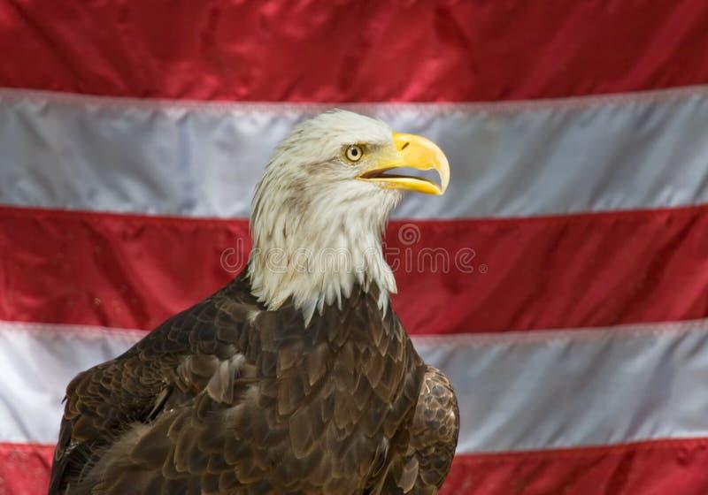 amerykański orzeł zdjęcie stock