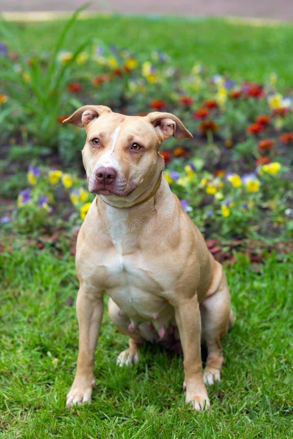 Amerykański Pit Bull Teriera obsiadanie zdjęcie royalty free