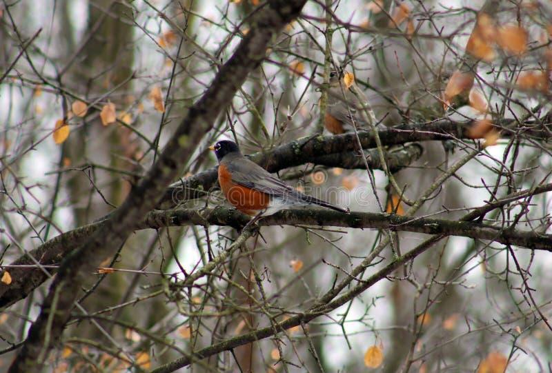 Amerykański rudzik w drzewie podczas zimnej zimy obraz royalty free