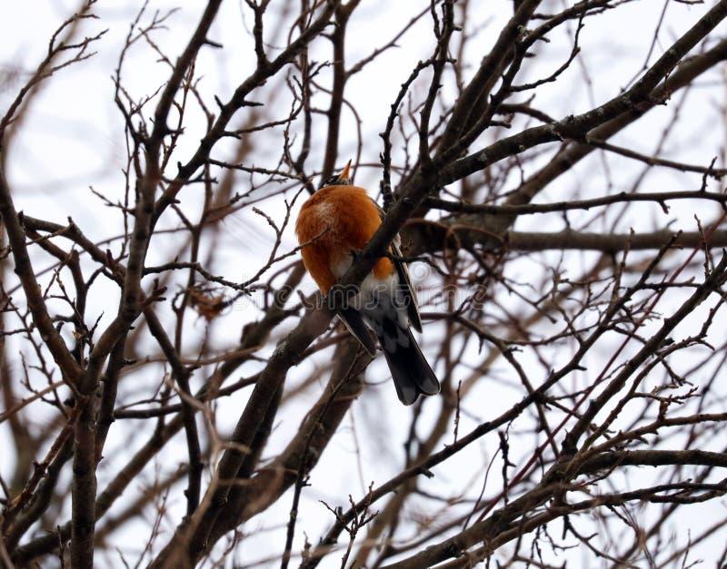 Amerykański rudzik w drzewie podczas zimnej zimy w Michigan obraz stock