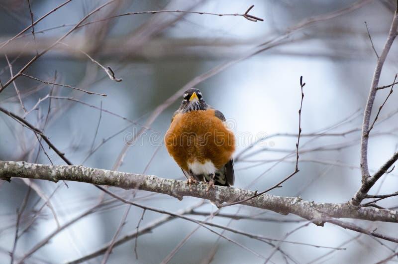 Amerykański rudzika ptak na gałąź fluffed w górę preening, Ateny, Gruzja zdjęcia stock