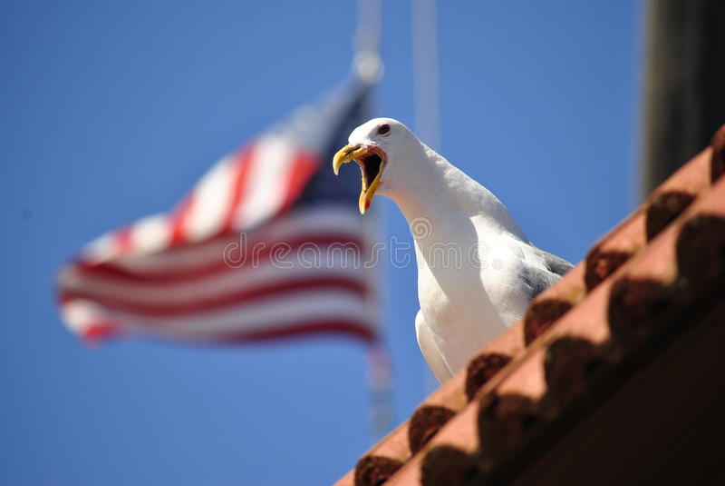 Amerykański Seagull fotografia stock