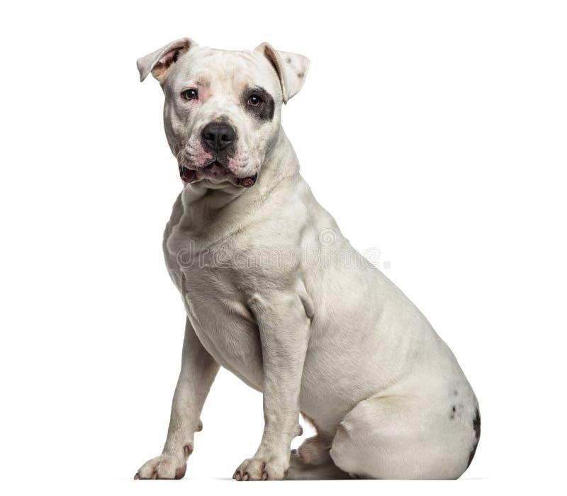 Amerykański Staffordshire Terrier, 9 miesięcy starych obrazy royalty free