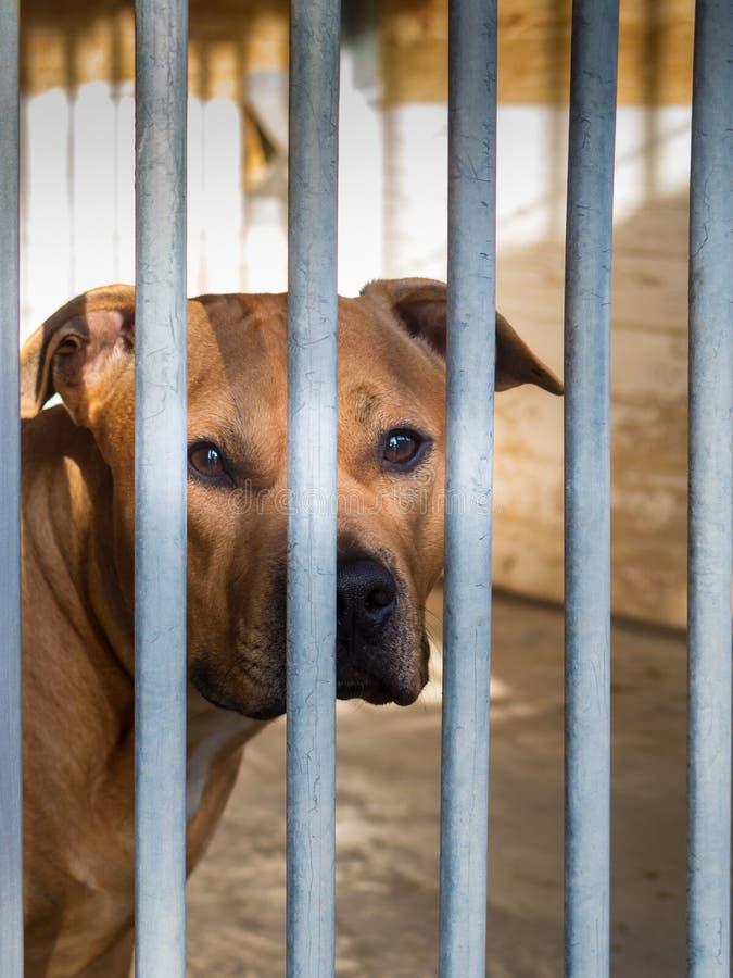 Amerykański Staffordshire Terrier ogradzał zdjęcia stock