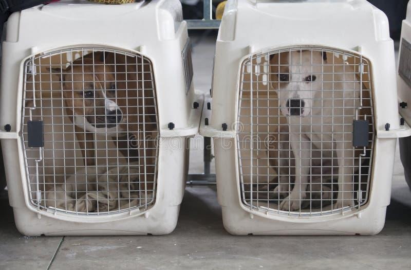 Amerykański Staffordshire Terrier przy psimi skrzynkami zdjęcia royalty free