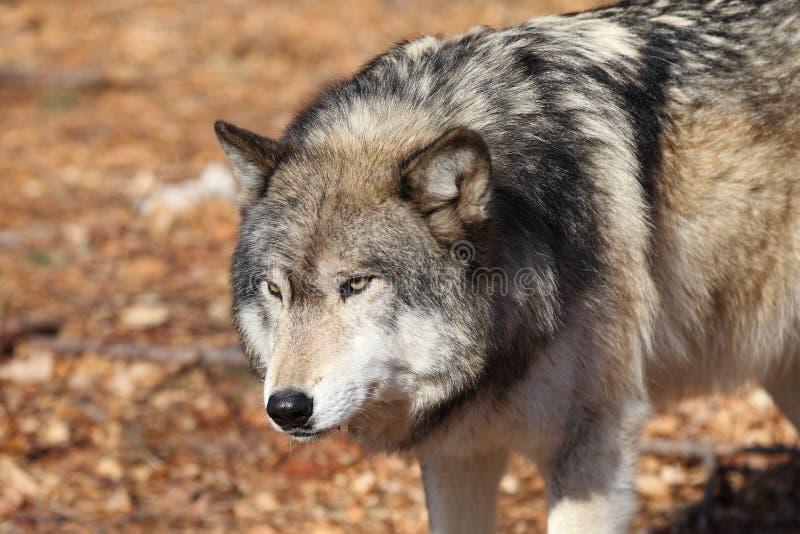 amerykański szary północny wilk obraz stock