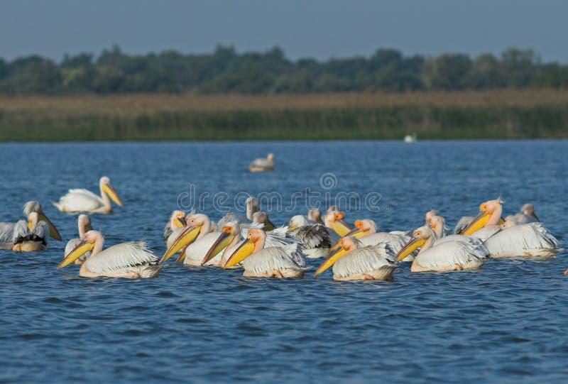 Amerykański Wielki Biały pelikan zdjęcie royalty free
