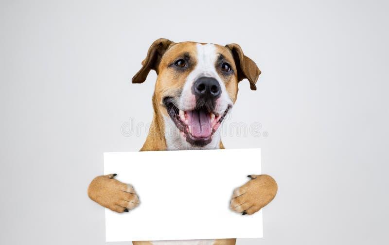 Amerykański wybory aktywizmu pojęcie z Staffordshire teriera psem Śmieszni pitbull teriera chwyty zdjęcie stock