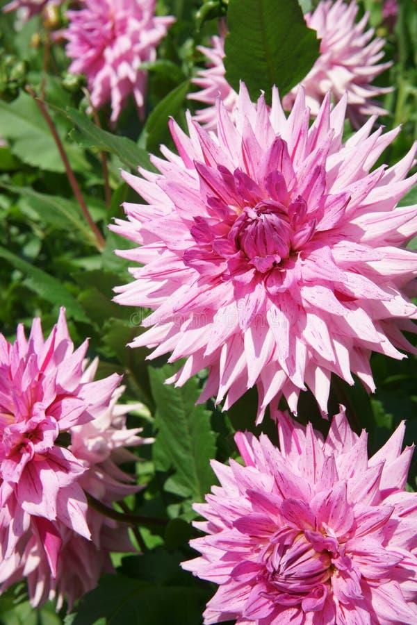 Amerykańskie Marzenia dalii Semi kaktusowy kwiat obraz royalty free