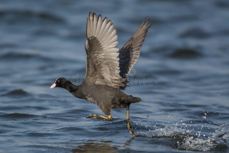 Amerykańskiego Coot ptak zdjęcie royalty free