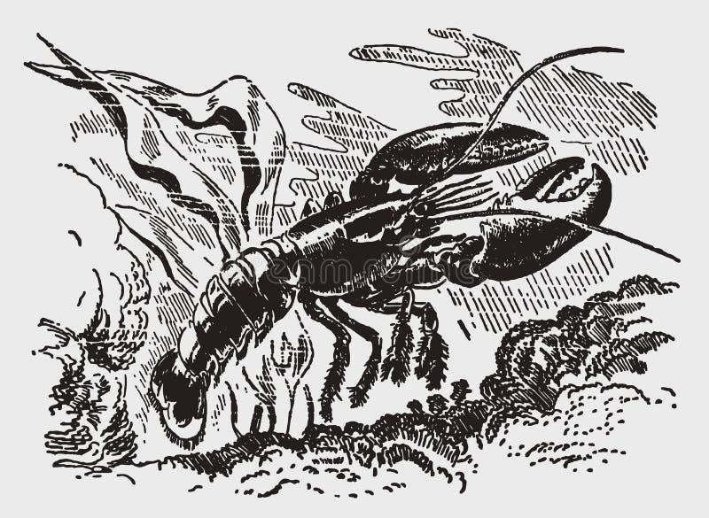 Amerykańskiego homara homarus americanus unosić się podwodny ilustracji