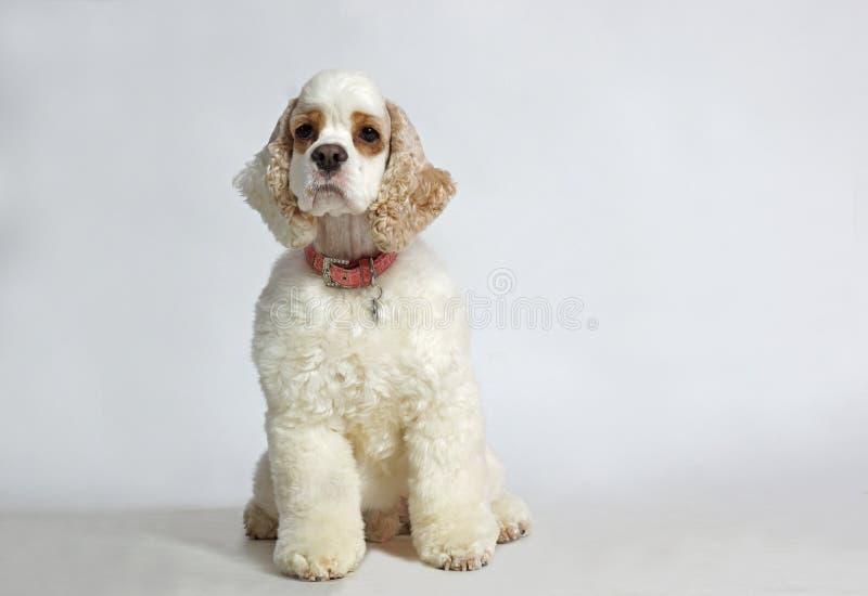 Amerykańskiego kokera spaniela pies obrazy royalty free