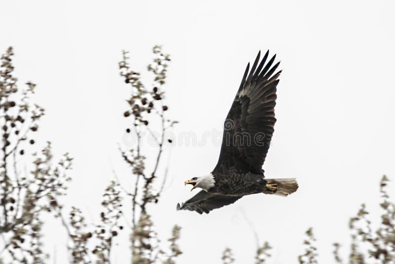 amerykańskiego orła łysego lotu obrazy royalty free